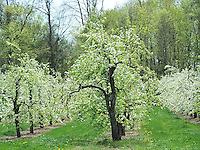 Farms and Gardens Rockland County NY, Late April, Conklin's Orchard, Pomona, NY, Conklin's Orchard, The Orchards of Conklin, The Orchards of Concklin, Concklin's Orchard,