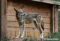 0822-1001  Critically Endangered Red Wolf Standing Near Shed, Canis rufus (syn. Canis niger)  © David Kuhn/Dwight Kuhn Photography