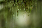 Artistic surreal closeup of water drops hanging from mossy tree branches in a tranquil nature scenery at Vancouver Island, BC, Canada.