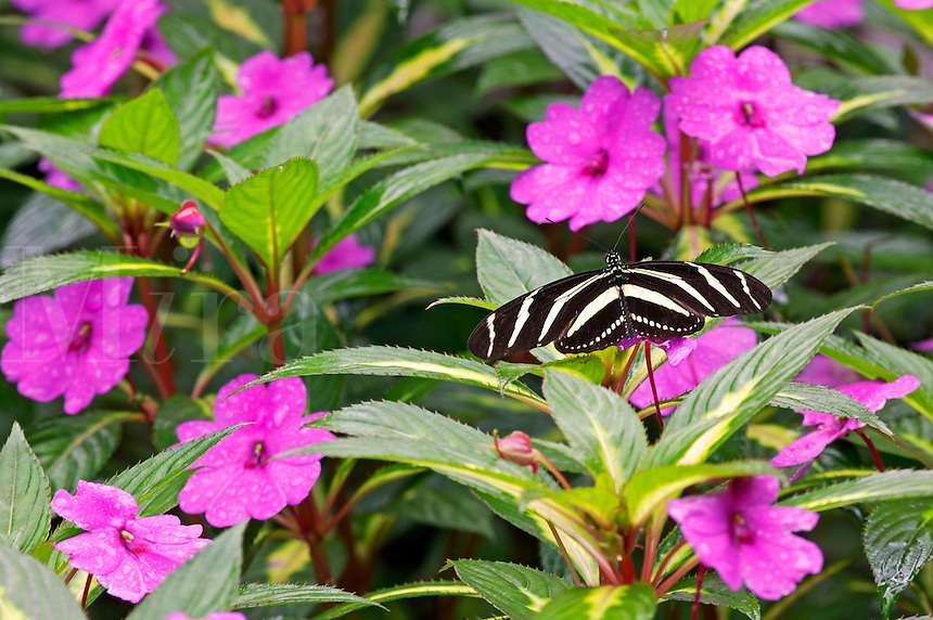 A Zebra (Heliconius charitonius) butterfly on False Heather (Cuphea hyssopifolia) at the largest Butterfly Observatory in the world, La Paz Waterfall Gardens and Peace Lodge, Costa Rica