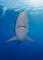 WQ0650-D. A Blue Shark (Prionace glauca) swims in close to the camera. Note the pores on the underside of the snout above the mouth. These are highly specialized sensory organs called ampullae of Lorenzini, which are electroreceptors capable of detecting electrical fields generated by other animals, including prey items. Azores, Portugal, Atlantic Ocean.<br /> Photo Copyright © Brandon Cole. All rights reserved worldwide.  www.brandoncole.com