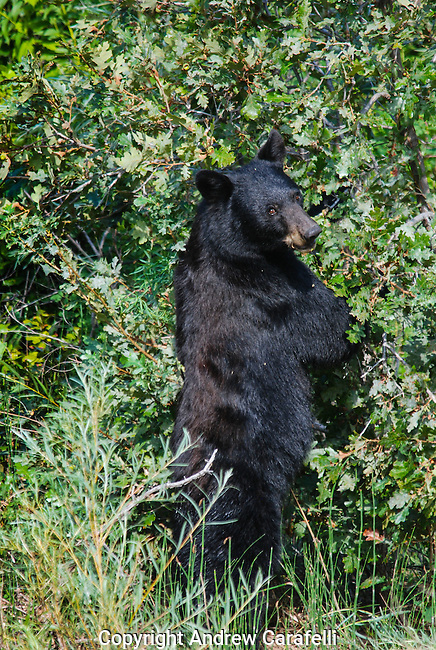 Starting to prepare for winter, a Black Bear sow stands on her hind feet to reach ripening acorns on scrub oak trees in Waterton Canyon, Colorado in late August.
