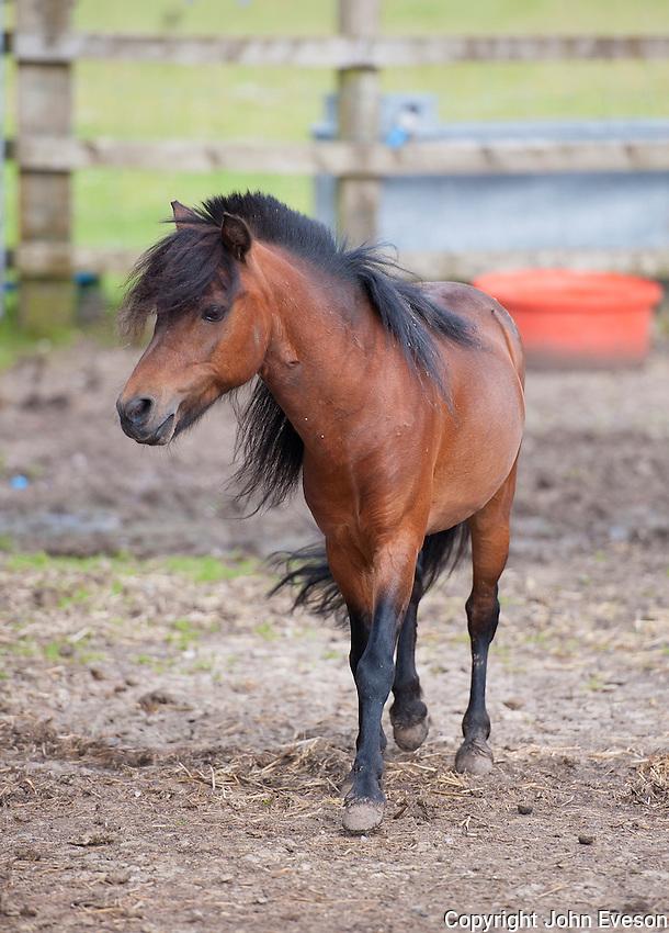 American miniature horse, Cheshire.