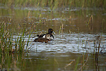 Pair of Ring-Necked Ducks
