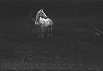 Scan of vintage black and white print. White horse along roadside. 1970's. 1/4