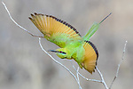 Central Africa green bee-eater (Merops viridissimus)