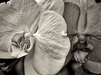 Close up of Phalaenopsis orchid.