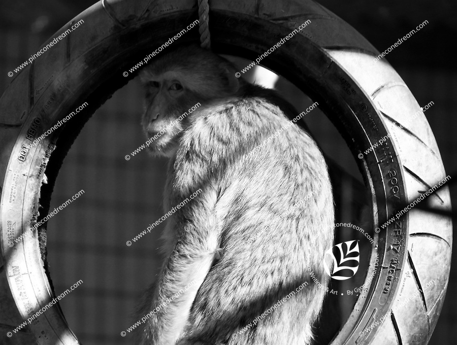 Black & white fine art stock photo of monkey sitting on tire-swing.<br />
