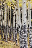 Quaking Aspen in fallcolors, Rocky Mountain National Park, Colorado, USA, September 2006