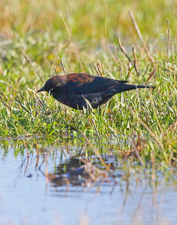 Male rusty blackbird molting to breeding plumage in late February