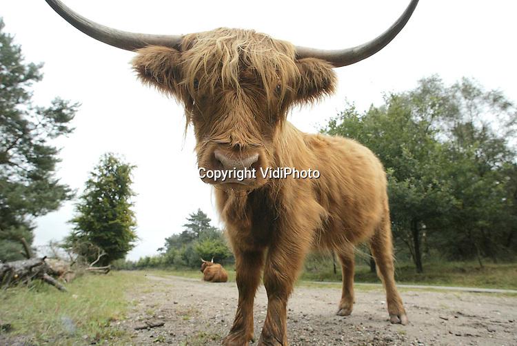 Foto: VidiPhoto..ARNHEM - Ook in natuurgebied Veluwezoom bij Arnhem zijn de Schotse hooglanders van Natuurmonumenten niet geoormerkt. Omdat er daar een overschot is van 130 stuks, moeten de dieren daar óf afgevoerd óf vernietigd worden. In beide gevallen moeten er volgens de AID alsnog gele oorflappen worden aangebracht. Er geldt daar tijdelijk een ontheffing op de oormerken. In het Twentse natuurgebied Witte Veen bij Haaksbergen wacht Natuurmonumenten wel een strafzaak voor het niet-oormerken.