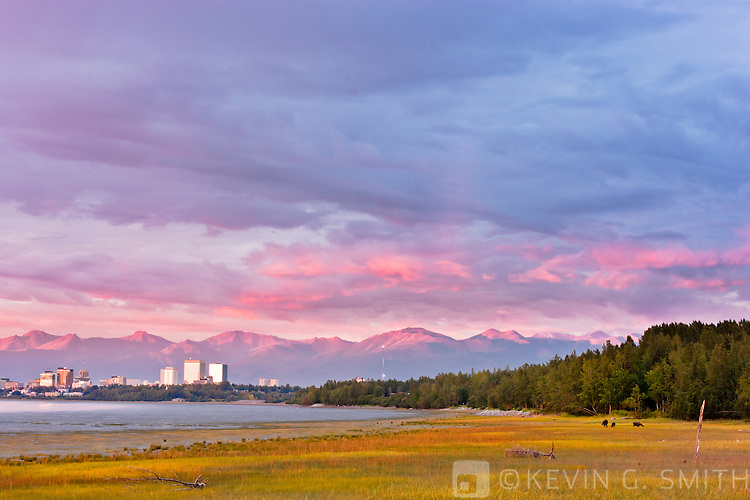 Cow moose and two yearling calves grazing on the Knik Arm coastal mudflats, storm clouds above the Anchorage city skyline and the Chugach mountains turning pick with alpenglow, sunset, Anchorage, Southcentral Alaska, Summer.
