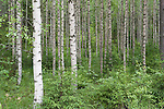 Silver Birch woodland, Betula pendula and ferns, Kangasala, Finland,