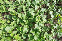 Oil seed rape plants - Norfolk, September