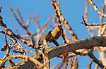House Finch, Yellow Variant, American rosefinch, Sepulveda Wildlife Refuge, Southern California