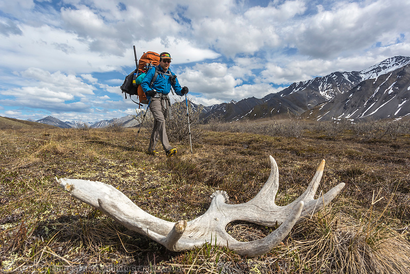 Moose antler on the tundra. Arctic National Wildlife Refuge, Brooks Range, Arctic Alaska.