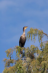 Double crested cormorant in cypress tree.