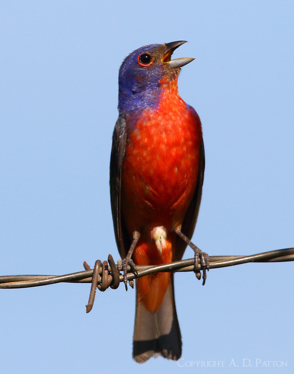 Adult male painted bunting with cloaca distended