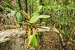 Reintroduced orchid species in the limestone rainforest area of the Xishuangbanna Tropical Botanic Gardens