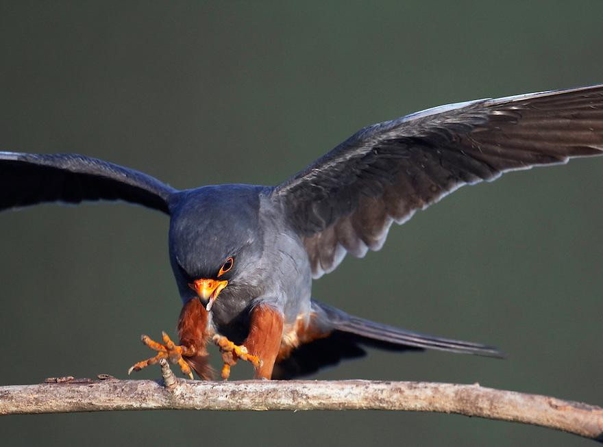 Red-footed Falcon (Falco vespertinus) Pusztaszer Nature Reserve, Hungary