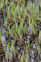 Tannenwedel, Tannen-Wedel, Gewöhnlicher Tannenwedel, Hippuris vulgaris, Common Mare's tail, mare's tail, la pesse vulgaire