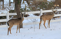 Increasing deer populations run thru neighborhoods in Albemarle County, VA. Photo/Andrew Shurtleff