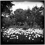 Daisies in a garden, Prague, Czech Republic.