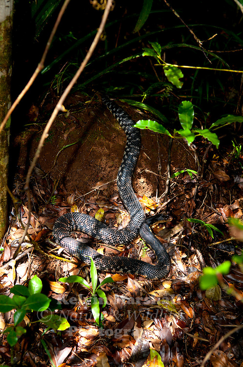 Leioheterodon madagascariensis or the Giant Madagascan Hognose is a snake species native to Madagascar,  They can grow from 130–180 cm. Ankarana National Park - Antsiranana province, Northern Madagascar.
