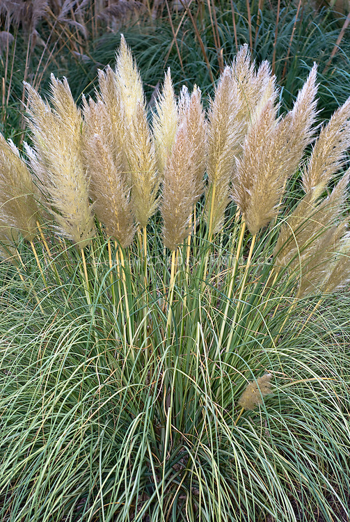 Cortaderia selloana Silver Feather ('Notcort') TN23, pampas grass perennial ornamental grass in bloom