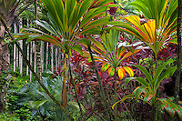 Ti plants. Hawaii Tropical Botanical Gardens. Hawaii, The Big Island.Hawaii,