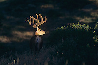 Mule Deer, Black-tailed Deer (Odocoileus hemionus), buck in velvet, Colorado, USA