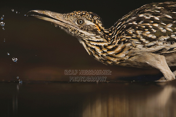 Greater Roadrunner (Geococcyx californianus),adult drinking, Starr County, Rio Grande Valley, Texas, USA