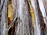 Resin on diseased Eastern White Cedar tree<br />