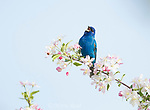 Indigo Bunting (Passerina cyanea) male in breeding plumage singing while perched in crabapple (Malus sp.) blossom in spring, Ithaca, New York, USA
