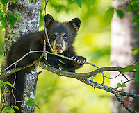 Spring Brown Bear (Ursus americanus) cub chews on a leaf while making eye contact with the photographers.