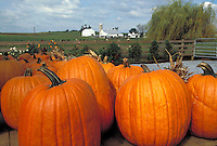 Pumpkin harvest with farm in background. Strasburg Pennsylvania USA Lancaster County.