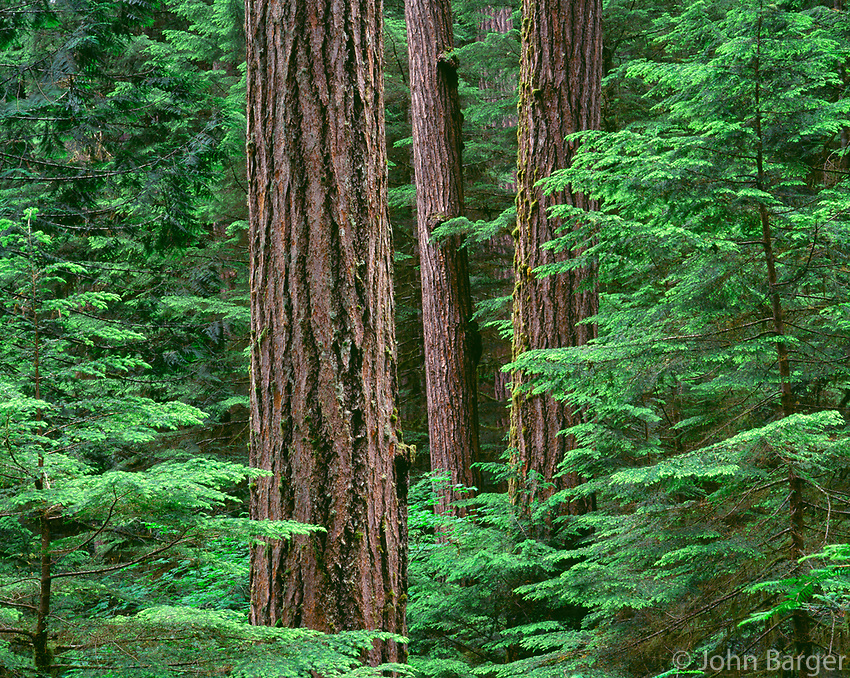 67ORCAC_010 - USA, Oregon, Willamette National Forest, Middle Santiam Wilderness, Douglas fir giants rise above western hemlock saplings in old-growth forest.