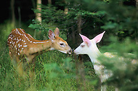 White-tailed deer (Odocoileus virginianus) fawns--one is an albino.  Summer.  Michigan.