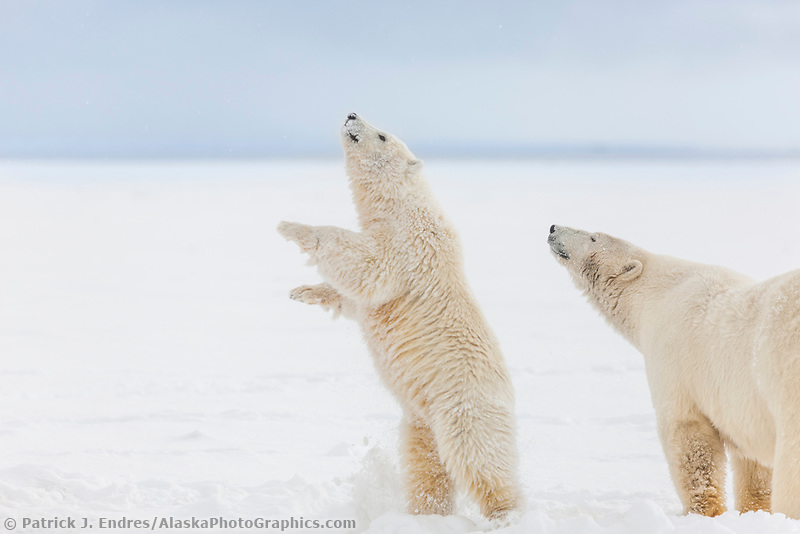 Polar bear cub of the year stands upright on its hind legs along the snowy shore of a barrier island in the Beaufort sea, Alaska.