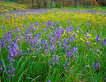 Columbia R. Gorge Nat'l Scenic Area, WA<br /> Field of common camas and western buttercup in Catherine Creek Natural Area