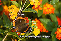 03408-007.01 Red Admiral (Vanessa atalanta) on Red Spread Lantana (Lantana camara) Marion Co.  IL