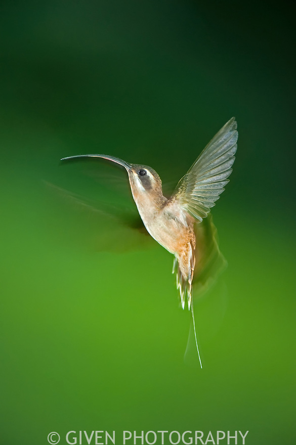 Long-billed Hermit hovering, Belize