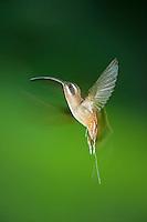 Long-billed Hermit hovering, Belize