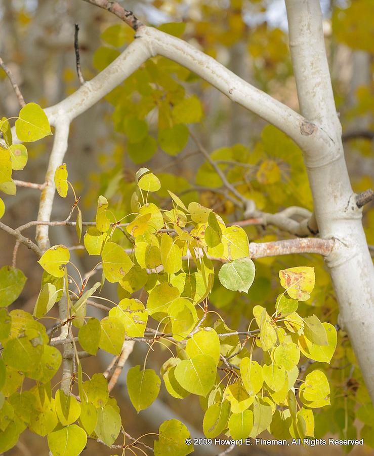 Aspens Near Mono Lake