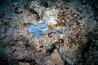 MARINE LIFE: REEFS<br /> Octopus on bottom<br /> The octopus is a cephalopod mollusk in the order Octopoda. Octopuses have two eyes and four pairs of arms, and are bilaterally symmetric.