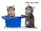 Xavier, ANIMALS, REALISTISCHE TIERE, ANIMALES REALISTICOS, cats, photos+++++,SPCHCATS835B,#A#