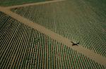 Foto: VidiPhoto..LAXDALE - De maïs in het Zuid-Afrikaanse Vrijstaat staat er voor het eerst in jaren weer goed bij. De afgelopen weken is er veel regen gevallen, waardoor akkerbouwers een opbrengst van minstens 8 ton per hectare verwachten. Dat is hoog voor Zuid-Afrikaanse begrippen. De gemiddelde jaaropbrengst ligt op 4 ton per hectare en zelfs 2 ton is niet ongebruikelijk. Akkerbouwer Dirk Serfontein, met 1730 hectare maïs één van de grotere boeren in het gebied, verbouwt zowel witte (voor onder meer maïspap) als gele (voor veevoer) maïs.