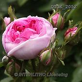 Gisela, FLOWERS, BLUMEN, FLORES, photos+++++,DTGK2052,#f#