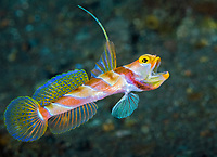 Black-Rayed Shrimp Goby, Stonogobiops nematodes, <br /> Tulamben, Bali, Indonesia, Pacific Ocean