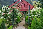 Vashon Island, WA: Light fog envelopes roses and hydrangeas blooming under pergola in Froggsong garden in summer